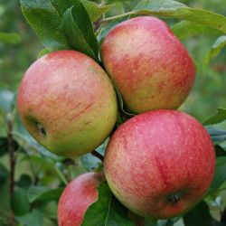 5ft 'Charles Ross' Dessert Apple Tree | MM106 Semi Vigorous Rootstock | 9L Pot