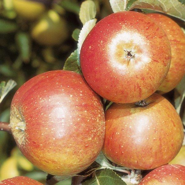 Cox's Orange Pippin' Dessert Apple Tree - 9L Pot