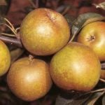 Apple 'Egremont Russet' - Cordon, 8L pot