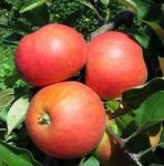 Elstar' Dessert Apple Tree - 9L Pot