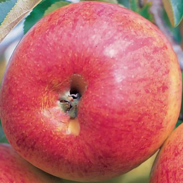 Falstaff' Dessert Apple Tree - 9L Pot