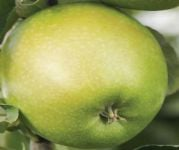 Granny Smith' Dessert Apple Tree - 9L Pot