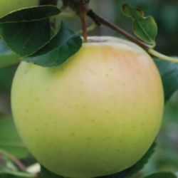 5ft 'Greensleeves' Dessert Apple Tree | M26 Semi Dwarfing Rootstock | 9L Pot