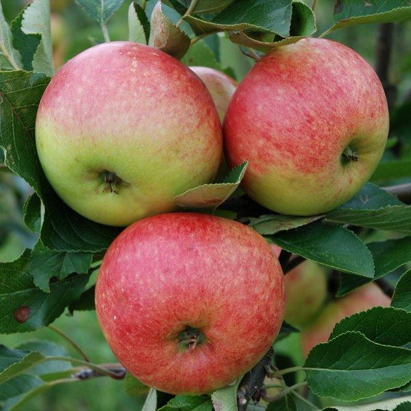Apple 'James Grieve' - Cordon, 8L pot