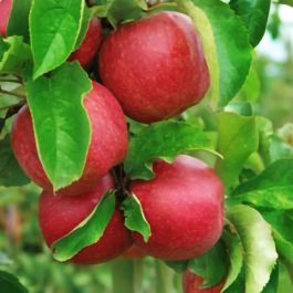 5ft 'Jonagold' Dessert Apple Tree | M26 Semi Dwarfing Rootstock | 9L Pot