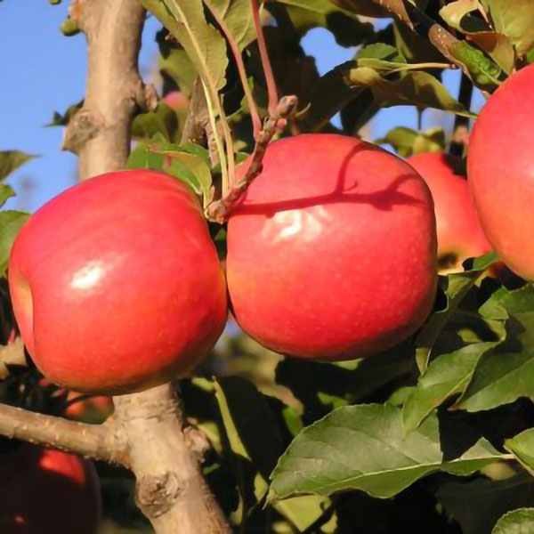 5ft 'Jupiter' Dessert Apple Tree | M26 Semi Dwarfing Rootstock | 9L Pot