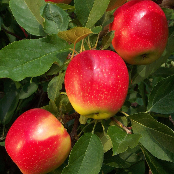 5ft 'Kidd's Orange Red' Dessert Apple Tree | M26 Semi Dwarfing Rootstock | 9L Pot
