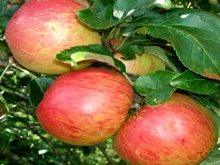 'Laxton's Superb' Dessert Apple Tree - Bare Root