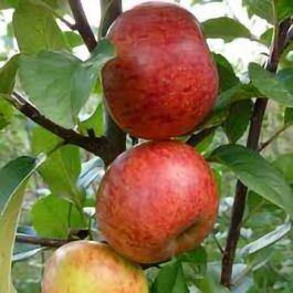 5ft 'Pixie' Dessert Apple Tree | M26 Semi Dwarfing Rootstock | 9L Pot