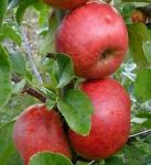 Red Windsor' Dessert Apple Tree - 9L Pot