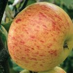 Rubinette' Dessert Apple Tree - 9L Pot