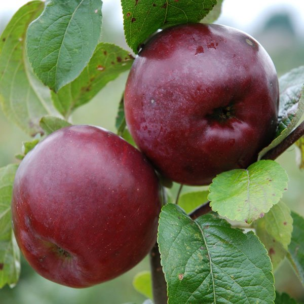 5ft 'Spartan' Dessert Apple Tree | M26 Semi Dwarfing Rootstock | 9L Pot