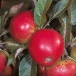 Worcester Pearmain' Dessert Apple Tree - 9L Pot