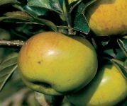 Bountiful' Cooking Apple Tree - 9L Pot