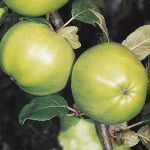 Grenadier' Cooking Apple Tree - 9L Pot