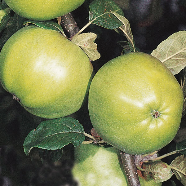 5ft 'Grenadier' Cooking Apple Tree | MM106 Semi Vigorous Rootstock | 9L Pot
