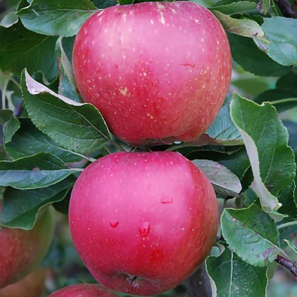 5ft 'Newton Wonder' Cooking Apple Tree MM106 - 9L Pot