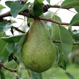 5ft 'Concorde' Pear Tree | Quince A Semi Dwarfing Rootstock | 9L Pot