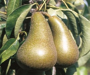 Pear 'Conference' - Cordon, 8L pot