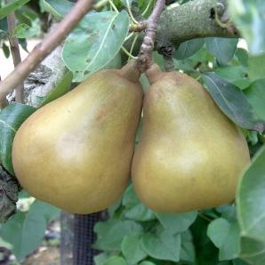 5ft 'Merton Pride' Pear Tree | Quince A Semi Dwarfing Rootstock | 9L Pot