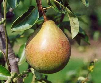 Onward' Dessert Pear Tree - 9L Pot