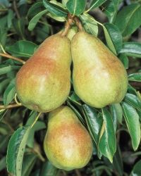 Williams' Bon Chrétien' Dessert Pear Tree - 9L Pot