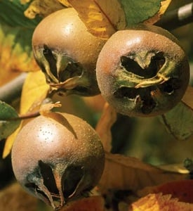 Medlar Tree 'Nottingham' - 9L Pot