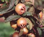 5ft 'Westerveld' Medlar Tree | Quince A Rootstock Semi-Dwarfing | 9L Pot