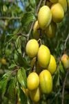 Plum Tree 'Coe's Golden Drop' - 9L Pot