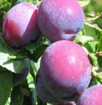 Plum Tree 'Czar' - 9L Pot