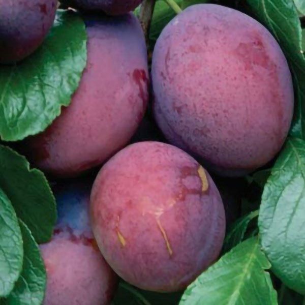 Plum Tree 'Edwards' - 9L Pot
