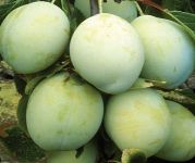 Plum Tree 'Old Greengage' - 9L Pot