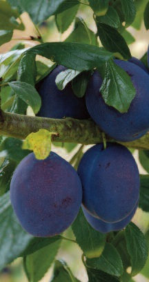 Plum Tree 'Herman' - 9L Pot