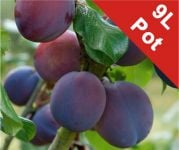 Plum Tree 'Marjorie's Seedling' - 9L Pot