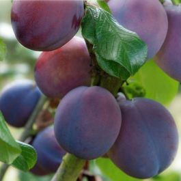 5ft 'Marjorie's Seedling' Plum Tree | SJA Semi Vigorous Rootstock | 12L Pot | By Frank P Matthews™
