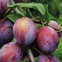 5ft 'Opal' Plum Tree | SJA Semi Vigorous Rootstock | 12L Pot | By Frank P Matthews™