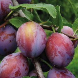 5ft 'Opal' Plum Tree | SJA Semi Vigorous Rootstock | 9L Pot