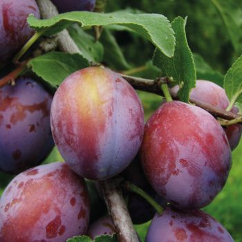 Plum 'Opal' - Cordon, 8L pot