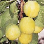 Plum Tree 'Oullin's Golden Gage' - 9L Pot