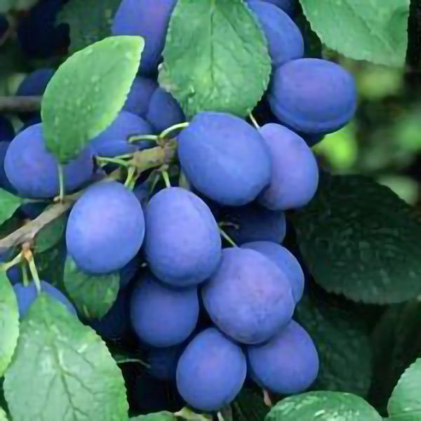 5ft 'Farleigh' Damson Tree | SJA Semi Vigorous Rootstock | 9L Pot