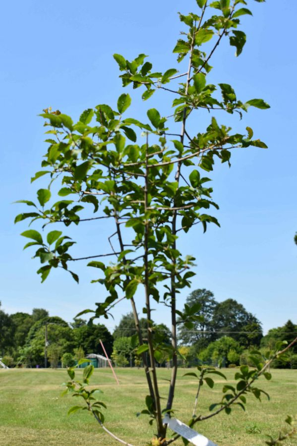 Damson Tree 'Farleigh' - 9L Pot