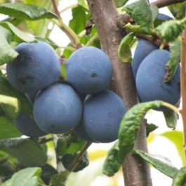 5ft 'Shropshire Prune' Damson Tree | SJA Semi Vigorous Rootstock | 12L Pot | By Frank P Matthews™