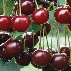 5ft 'May Duke' Cherry Tree | Colt Semi Vigorous Rootstock  | 9L Pot