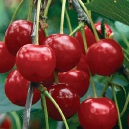5ft 'Nabella' Cherry Tree | Colt Semi Vigorous Rootstock  | Bare Root