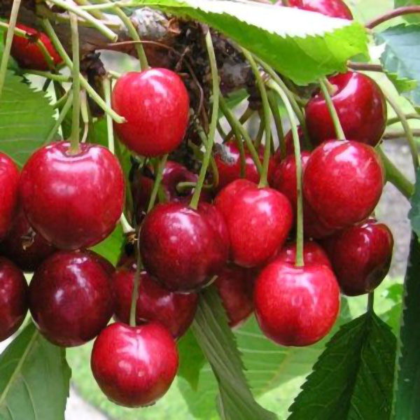 Cherry Tree 'Lapins Cherokee' - 9L Pot