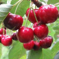 5ft 'Sasha' Cherry Tree | Colt Semi Vigorous Rootstock  | 9L Pot