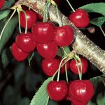Cherry Tree 'Stella' - 9L Pot
