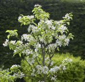 Cherry Tree 'Sunburst' - 9L Pot