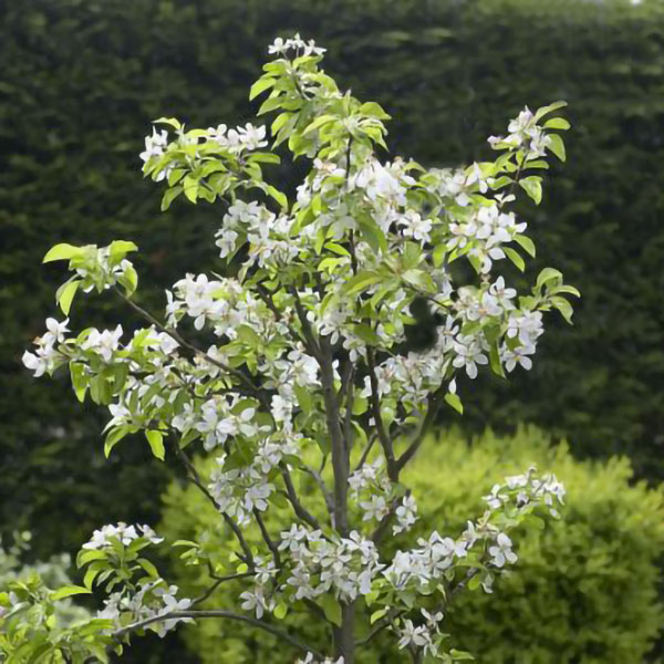 Cherry Tree 'Sunburst' - Bare Root