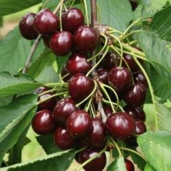5ft 'Sunburst' Cherry Tree | Colt Semi Vigorous Rootstock  | Bare Root